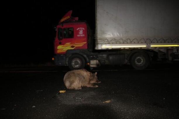 Araç çarpınca yaralanan ayı, kurtarmaya gelenlere saldırıp kaçtı