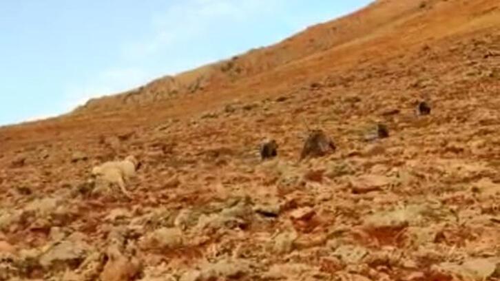 Çoban o anları kaydetti! Anne ve yavru ayılar koyunlara saldırdı