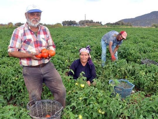Datça'da güz domatesinde hasat erken başladı