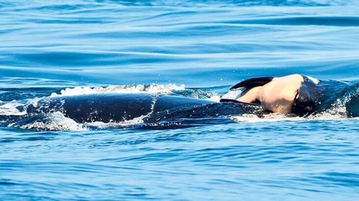 Balina ölü yavrusunu 17 gün sırtında taşıdı