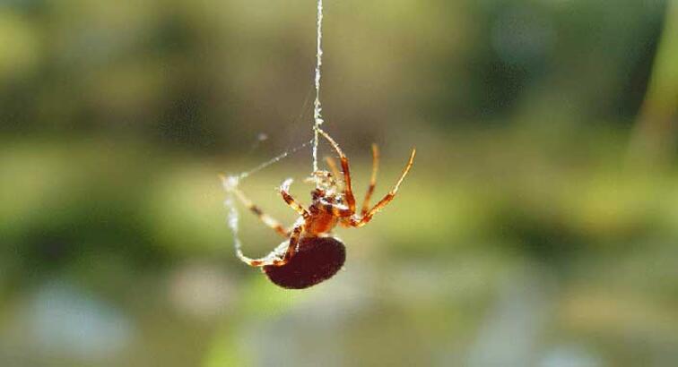 Türkiye'de yeni örümcek türü keşfedildi