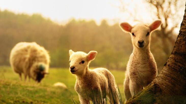 Son dakika: ÇiftlikBank'tan sonra şimdi de kuzu vurgunu!