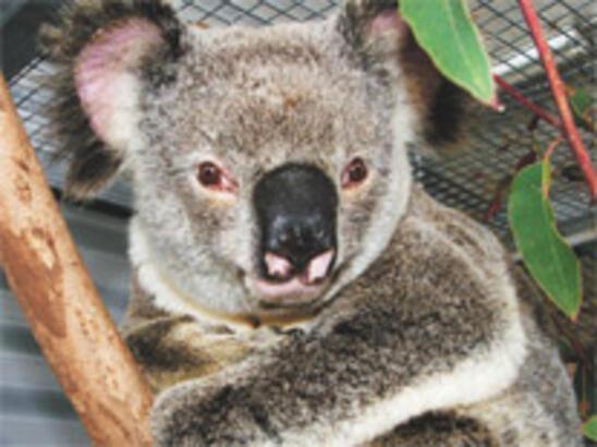 En şanslı koala
