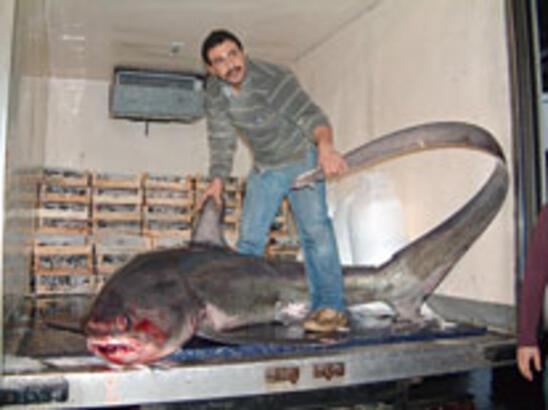 İmralı'da dev köpekbalığı