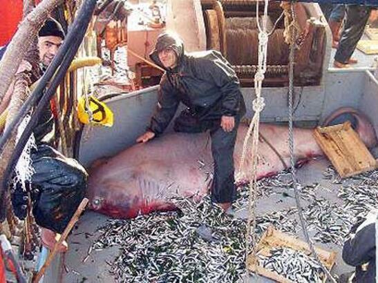 Balıkçı ağına 5 metrelik köpek balığı takıldı