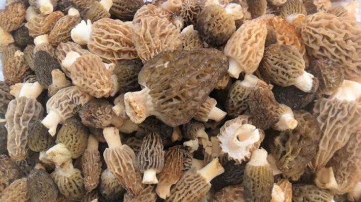 Kazdağları'nın kuzugöbeği mantarı gramla satılıyor - Son Haberler ...