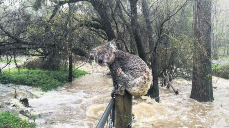 Sel mağduru koala