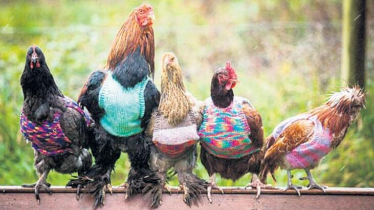 Tavuklara örme kazak
