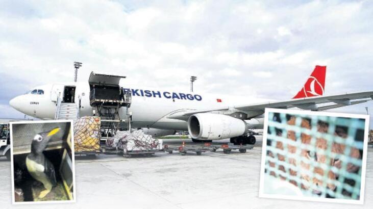 THY 'İstanbul aktarmalı'  aslan ve penguen uçurdu