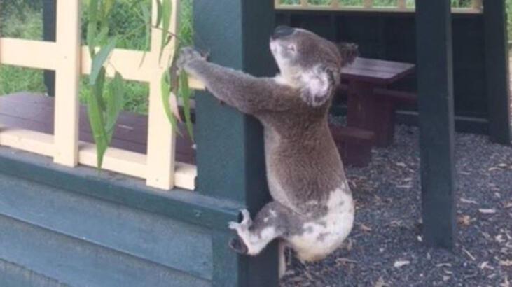 Avustralya'da 'binaya vidalanmış ölü koala' şoku