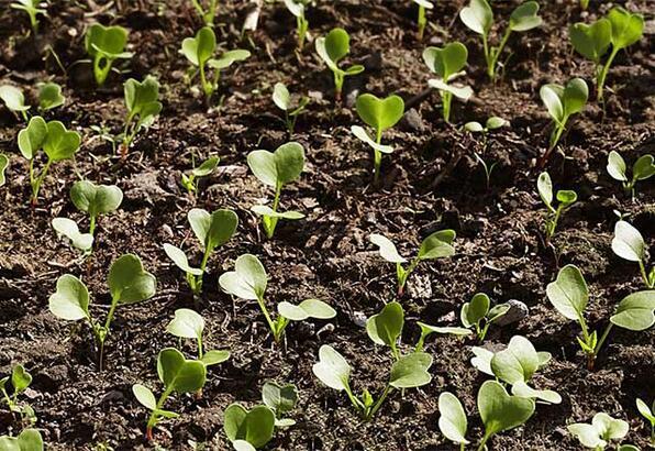 Hangi sebze hangi ayda ekilir? Havuç, bezelye, ıspanak, domates, turp, patates, soğan... ne zaman ekilir?