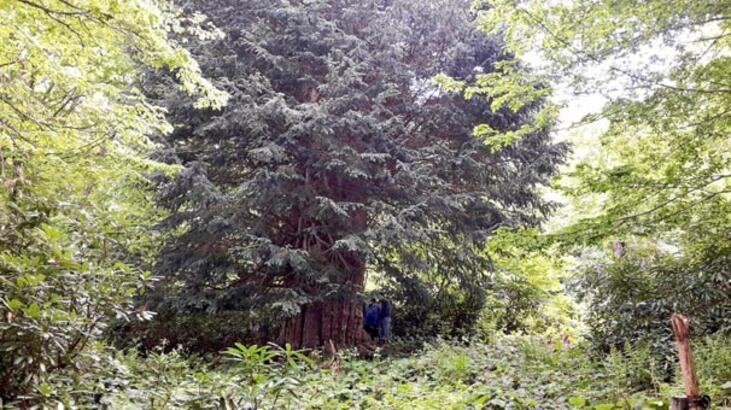 Dünyanın en büyük ağaçlarından! Zonguldak'ta bulundu