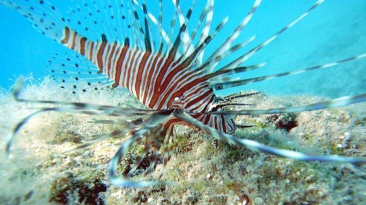 Akdeniz'de zehirli balık görüldü