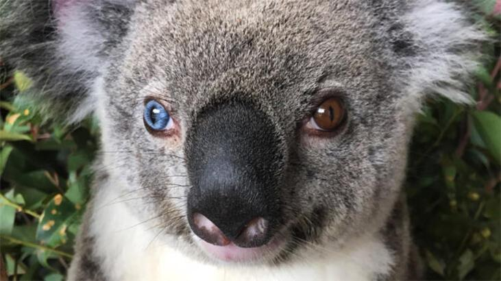Avustralya'da Van kedisi gibi koala bulundu