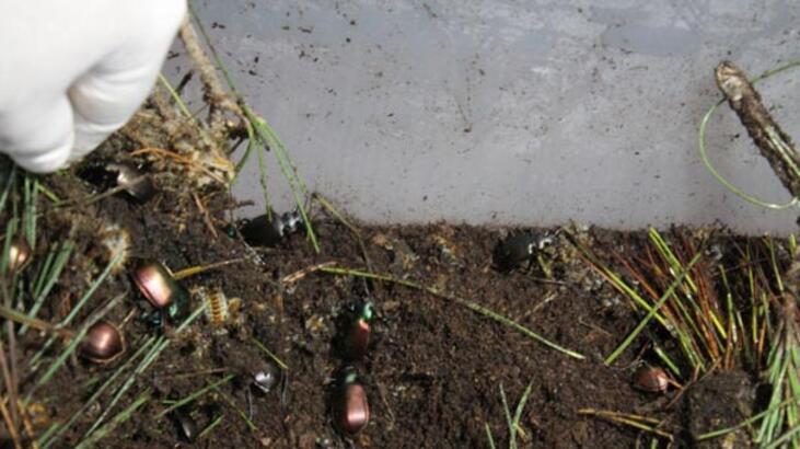 İstanbul'un 'gladyatör böcekleri' Büyükada'da yetişiyor