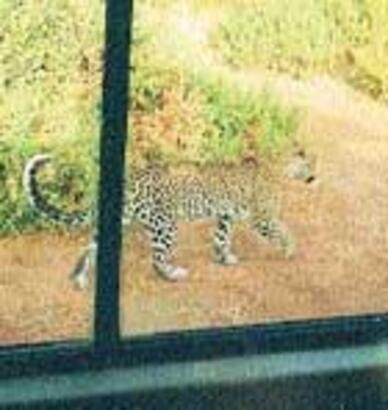 Leoparın gözleri bizde kaldı