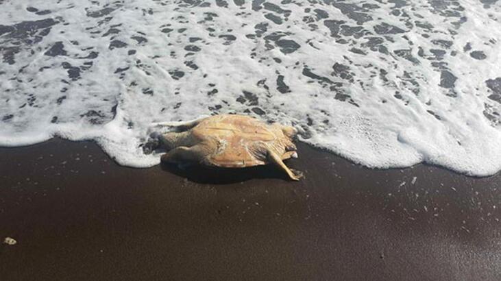 Datça sahilinde bulundu! 13 santimetre boyunda...