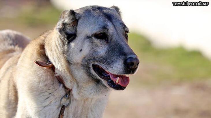 Zincirini koparan kangal köpeği dehşet saçtı