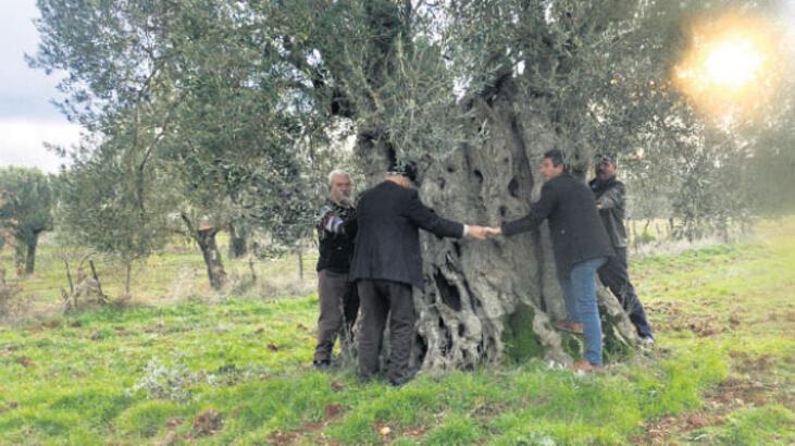 600 yıllık zeytin ağacı tescil bekliyor