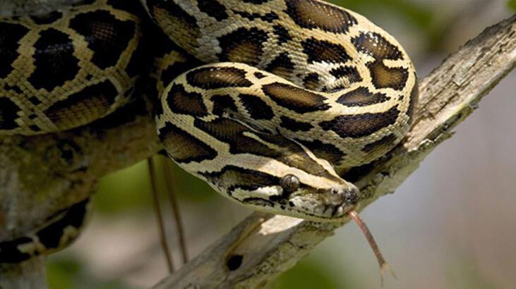 ABD'de 5,2 metre uzunluğunda piton yakalandı