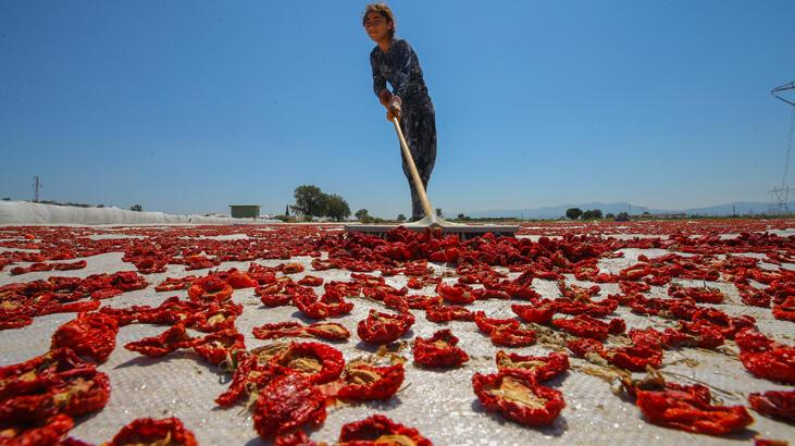 İhracatlık domatesler güneşe serildi