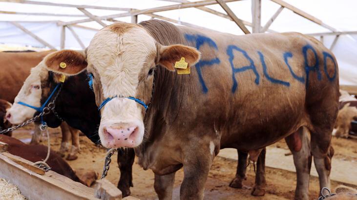 'Falcao' satıldı! 16 bin liraya...