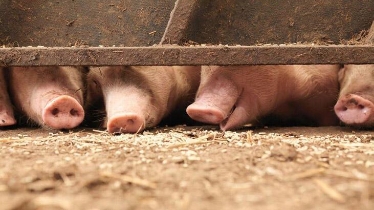 Filipinler'de Afrika domuz vebası alarmı