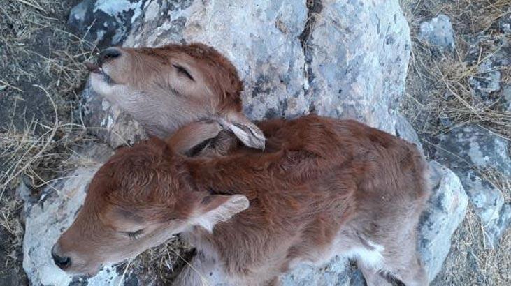 Çift başlı doğdu 3 saat sonra öldü