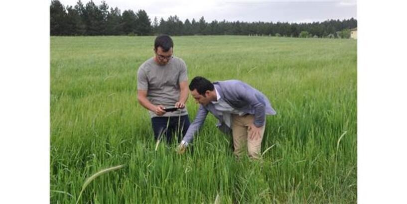 10 Bin Yılık Siyez Buğdayı Baş Vermeye Başladı