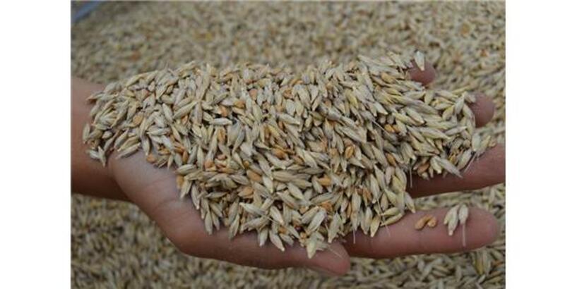 Siyez Buğdayı 3 Bin Yıl Sonra Frigya'ya Döndü