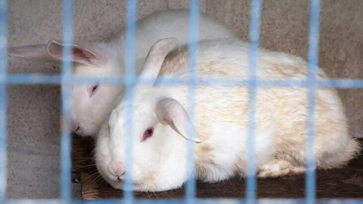 Vegan aktivistlerin eylemi yüzünden 'tavşanlar felç oluyor'