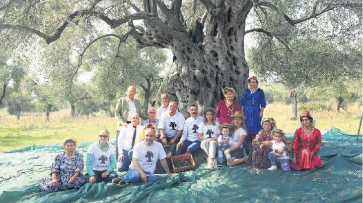3 bin yıllık ağaçtan hasat