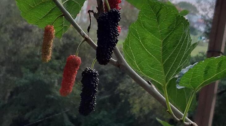 Ekim ayında meyve veren dut ağacı şaşkınlık yarattı