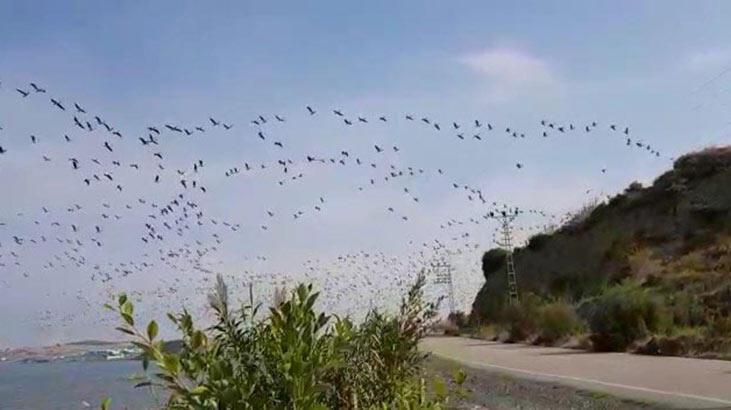 Hatay'da pelikanların göç yolculuğu