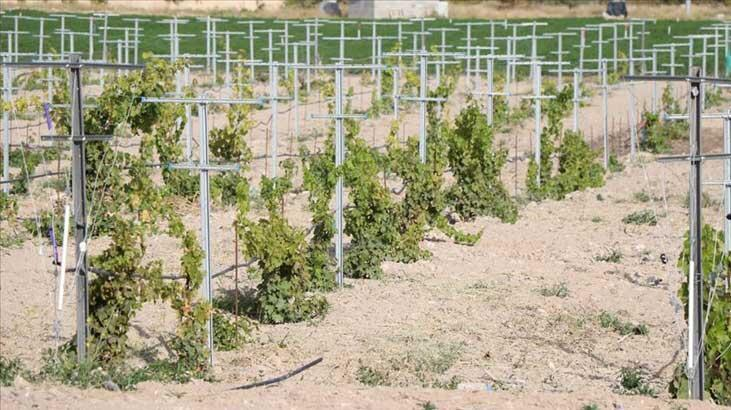 Yerel üzüm çeşitleri 'Üzüm Koleksiyon Bağı'nda korunacak