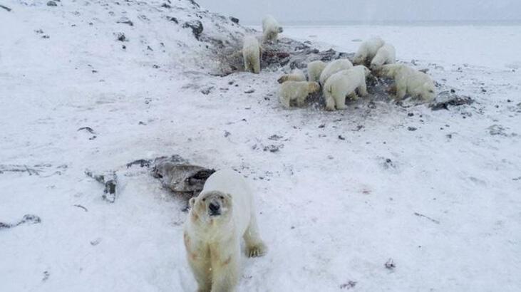 Rusya'da 50'den fazla kutup ayısı köye yaklaştı, okullara koruma verildi