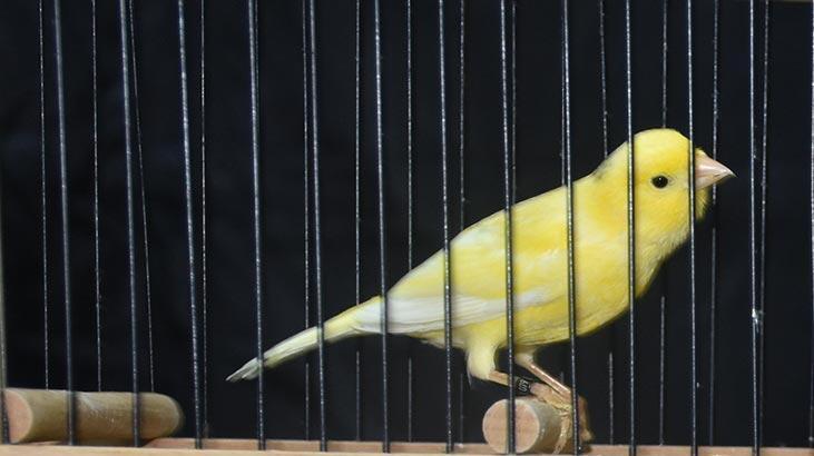 En iyi öten kuş seçildi
