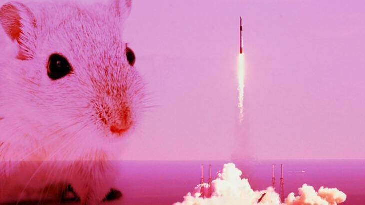 Uzaya gönderilen 'süper fareler'den haber var
