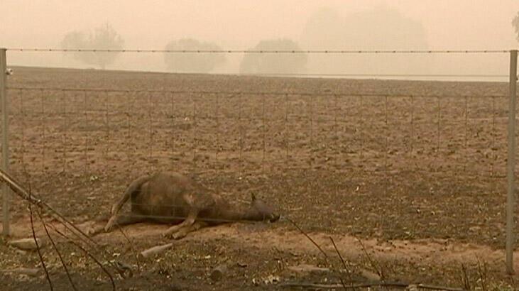 Yürekleri dağlayan görüntü! Binlerce kanguru ve koala...