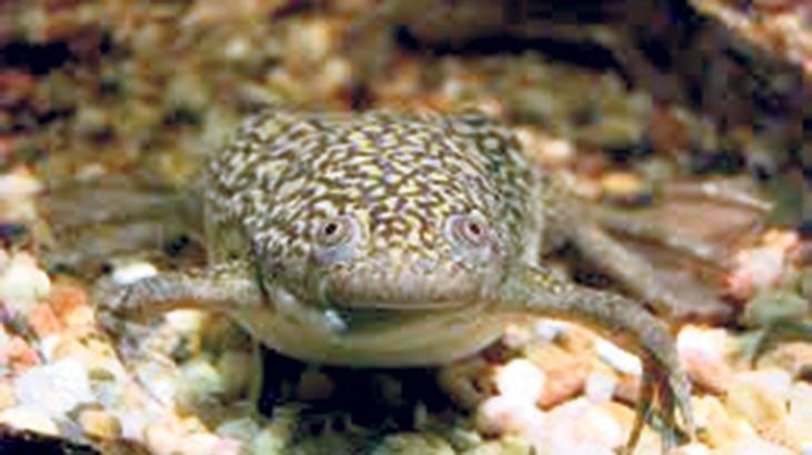 Kurbağa hücresinden yaşayan robot üretildi