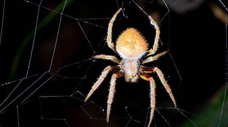 Felaketlerin ardı kesilmiyor: Bu kez de zehirli örümcek paniği!