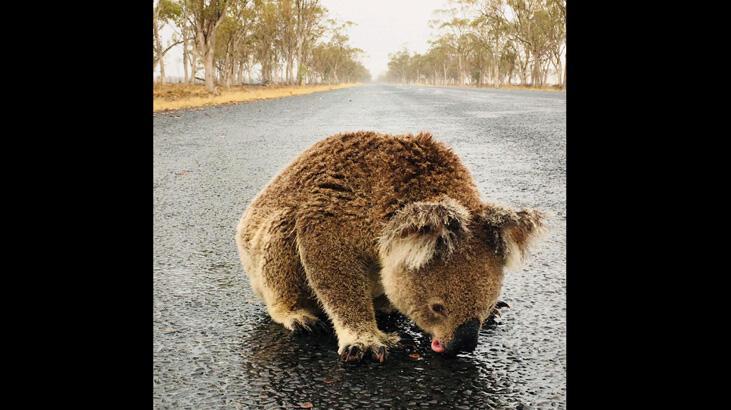 Orman yangınları Avustralya'da 113 canlı türünü acil yardıma muhtaç hale getirdi