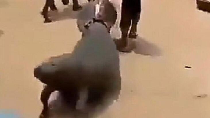 Deniz ineği sokaklarda sürüklendi, soruşturma başlatıldı!