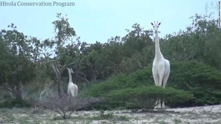 Dünyada nadir görülen iki beyaz zürafa öldürüldü