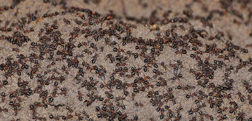 Karınca istilası hangi ülkede oldu? Karınca İstilası neden olur?