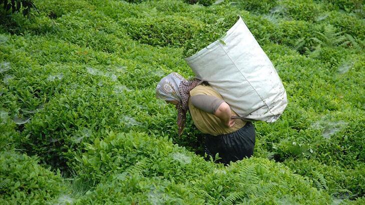 Yaş çay alım kampanyası için havanın ısınması bekleniyor