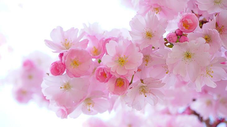 Çiçeklerin rengi nasıl oluşur?