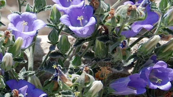 Tüylü Çan Çiçeği nedir, nerelerde yetişir?  Tüylü Çan Çiçeği koparanlara ne kadar ceza verilecek?