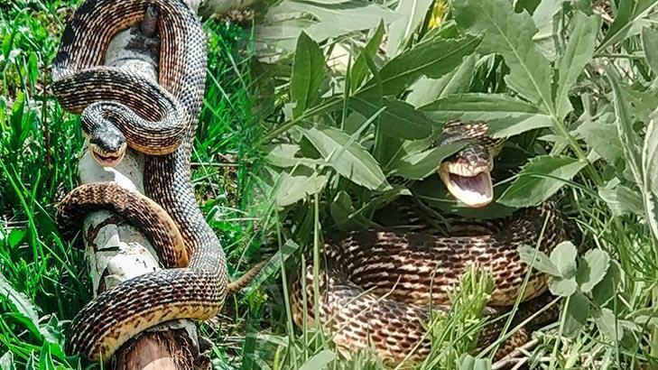 3 metrelik yılan pancar toplayan işçileri korkuttu!