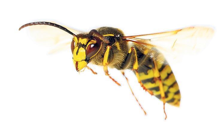 Eşek arıları akıl yürütebiliyormuş
